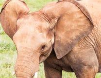 Επικεφαλής στενού ενός επάνω ελεφάντων Στοκ Φωτογραφίες