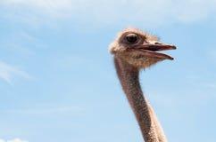 Επικεφαλής στενός επάνω στρουθοκαμήλων στο αγρόκτημα στρουθοκαμήλων Η στρουθοκάμηλος ή ο τύπος είναι ανοικτός Στοκ Εικόνα