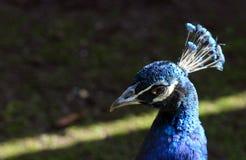 Επικεφαλής στενός επάνω Peacock Στοκ φωτογραφίες με δικαίωμα ελεύθερης χρήσης