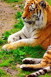 επικεφαλής στηργμένος τίγρη λεπτομέρειας Στοκ Φωτογραφία