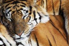 επικεφαλής στηργμένος τίγρη λεπτομέρειας Στοκ Εικόνα