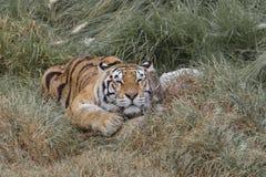 επικεφαλής στηργμένος τίγρη λεπτομέρειας Στοκ εικόνα με δικαίωμα ελεύθερης χρήσης