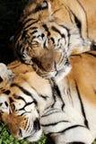 επικεφαλής στηργμένος τίγρη λεπτομέρειας Στοκ φωτογραφία με δικαίωμα ελεύθερης χρήσης