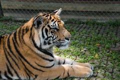 επικεφαλής στηργμένος τίγρη λεπτομέρειας Στοκ Εικόνες