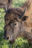 Επικεφαλής της αμερικανικής αγελάδας βισώνων Στοκ Εικόνες