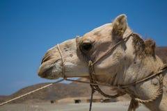Επικεφαλής της καμήλας Στοκ Φωτογραφίες