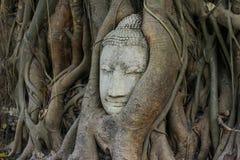 Επικεφαλής του Βούδα στις ρίζες δέντρων Στοκ Φωτογραφία