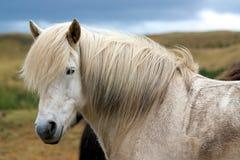 Επικεφαλής του ισλανδικού αλόγου που εξετάζει μια κάμερα Στοκ Φωτογραφία
