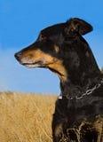 Επικεφαλής του σκυλιού Στοκ φωτογραφίες με δικαίωμα ελεύθερης χρήσης