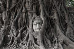 Επικεφαλής του ψαμμίτη Βούδας στις ρίζες του δέντρου Bodhi Στοκ Εικόνα