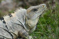 Επικεφαλής του iguana κοντά στη των Μάγια archeological περιοχή Uxmal Στοκ Φωτογραφία