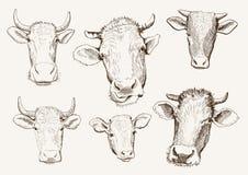 Επικεφαλής των αγελάδων Στοκ φωτογραφία με δικαίωμα ελεύθερης χρήσης