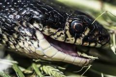 επικεφαλής φίδι Στοκ Εικόνες