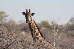 Επικεφαλής giraffe στη Ναμίμπια Στοκ εικόνα με δικαίωμα ελεύθερης χρήσης
