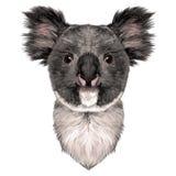 Επικεφαλής Koala ελεύθερη απεικόνιση δικαιώματος