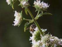 Επικονίαση μελισσών μελιού στο λουλούδι στοκ εικόνα με δικαίωμα ελεύθερης χρήσης