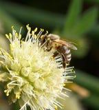 επικονίαση λουλουδιών μελισσών στοκ φωτογραφία