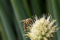 επικονίαση λουλουδιών μελισσών στοκ φωτογραφίες με δικαίωμα ελεύθερης χρήσης