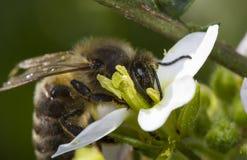 επικονίαση λουλουδιών μελισσών Στοκ φωτογραφία με δικαίωμα ελεύθερης χρήσης
