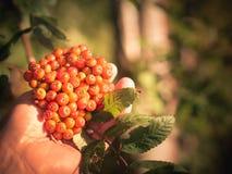 Επιλέξτε τα μούρα σορβιών σας για τη μαρμελάδα, χυμός, ηδύποτο Στοκ φωτογραφία με δικαίωμα ελεύθερης χρήσης