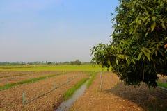 Επιλογή μάγκο σε Petchaburi, Ταϊλάνδη στοκ εικόνα
