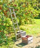 επιλογή μήλων Στοκ εικόνες με δικαίωμα ελεύθερης χρήσης