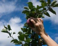 επιλογή μήλων Στοκ Φωτογραφία
