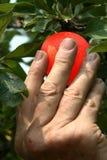 επιλογή μήλων στοκ φωτογραφίες
