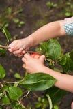 επιλογή παιδιών μήλων Στοκ φωτογραφία με δικαίωμα ελεύθερης χρήσης