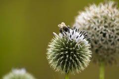 Επιμελής μέλισσα Στοκ Εικόνες