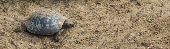 Επιμηκυμένος το σύρσιμο μέσω της άμμου στη φάση του, ένα διακυβευμένο ζώο από την Ινδία στοκ εικόνες