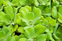 επιπλέοντα φυτά Στοκ Εικόνες