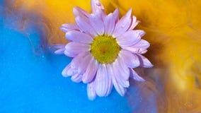 Επιπλέον ανοικτό ροζ λουλούδι που τυλίγεται αργά στο κίτρινο και μπλε μελάνι απόθεμα βίντεο