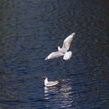 Επιπλέων και πετώντας γλάρος Στοκ φωτογραφία με δικαίωμα ελεύθερης χρήσης