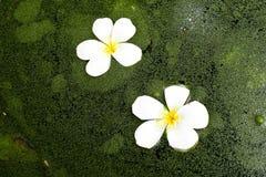 επιπλεσμένο λουλούδι Στοκ Φωτογραφίες