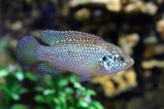 Επιπλέοντα σώματα ψαριών ενάντια στις πέτρες Στοκ Φωτογραφία