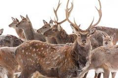 Επισημασμένα ελάφια στο χειμερινό δάσος Στοκ εικόνες με δικαίωμα ελεύθερης χρήσης
