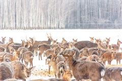 Επισημασμένα ελάφια στο χειμερινό δάσος Στοκ Εικόνες
