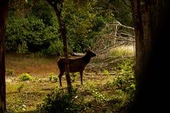 Επισημασμένα η Κεϋλάνη ελάφια, εθνικό πάρκο Wilpattu, Σρι Λάνκα στοκ εικόνα