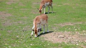Επισημασμένα deers που ταΐζουν με τη χλόη στον τομέα φιλμ μικρού μήκους