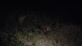Επισημασμένα hyenas τη νύχτα απόθεμα βίντεο