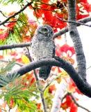 Επισημασμένο owlet Στοκ εικόνα με δικαίωμα ελεύθερης χρήσης