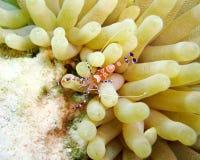 Επισημασμένες καθαρότερες γαρίδες Στοκ Φωτογραφία