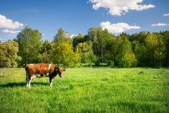 Επισημασμένη αγελάδα στο πράσινο λιβάδι Στοκ Φωτογραφίες