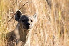 Επισημασμένη κινηματογράφηση σε πρώτο πλάνο hyena Στοκ Φωτογραφία
