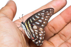 Επισημασμένη πεταλούδα του Jay Στοκ Φωτογραφίες