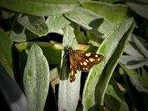 Επισημασμένη πεταλούδα στοκ εικόνες με δικαίωμα ελεύθερης χρήσης