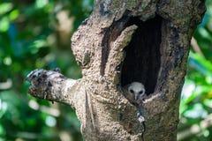 Επισημασμένη πουλί κουκουβάγια νεοσσών Στοκ Εικόνες