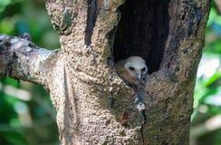 Επισημασμένη πουλί φωλιά εσωτερικών κουκουβαγιών νεοσσών στην τρύπα δέντρων Στοκ Εικόνα