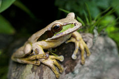 Επισημασμένος βάτραχος Κόστα Ρίκα Στοκ Φωτογραφίες